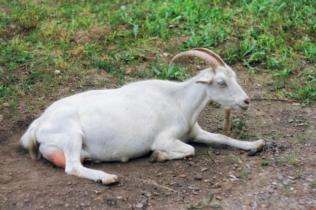 stockvault-goat136609