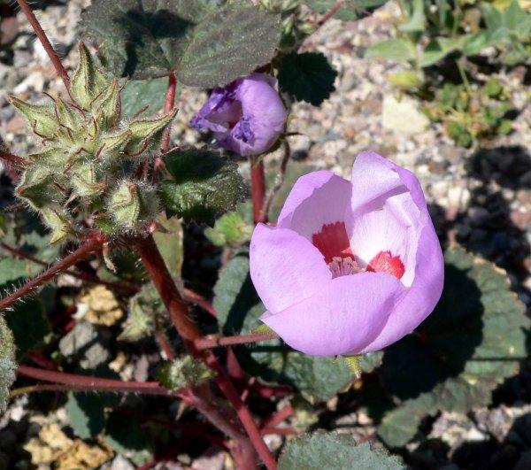 Eremalche_rotundifolia_2